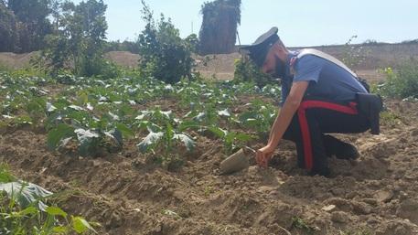 (ANSA) - NAPOLI, 24 SET - Sopra la coltivazione di ortaggi, sotto rifiuti pericolosi interrati. É quanto hanno scoperto i carabinieri a Casoria, in provincia di Napoli, dove hanno sequestrato un'area agricola di 14mila metri quadrati utilizzata come discarica illegale. Denunciate e piede libero 10 persone.    I militari, coadiuvati da personale specializzato, nell'ambito dell'attività di contrasto alla 'terra dei fuochi' hanno ispezionato l'area agricola trovando circa una tonnellata di rifiuti pericolosi per la salute pubblica accumulati in vari punti del terreno. Su una porzione di circa 4.000 metri quadrati coltivata ad ortaggi, nel terreno sotto le piante trovati interrati altri rifiuti.    Denunciati proprietari e utilizzatori del terreno in via Giovanni Pascoli in località Arpino; l'intervento è stato fatto ieri.