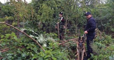 carabinieri cc 112 cinofili piantagione marijuana controllo giorno generico