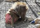 """(VIDEO/FOTO) Giugliano. """"Lager per animali"""" al circo Orfei: maxi-multa da 110mila euro"""
