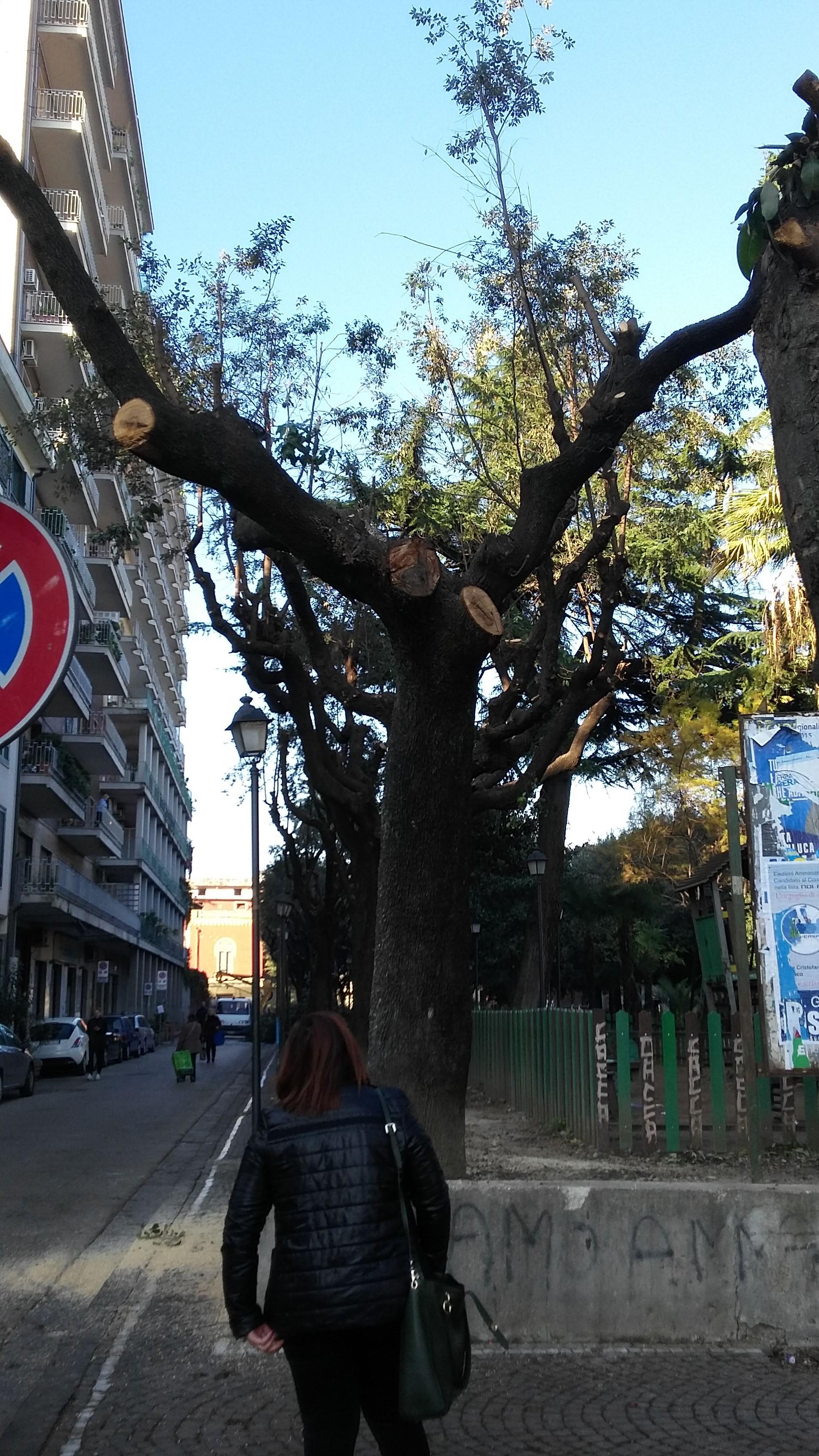 aversa-albero-tagliato-1