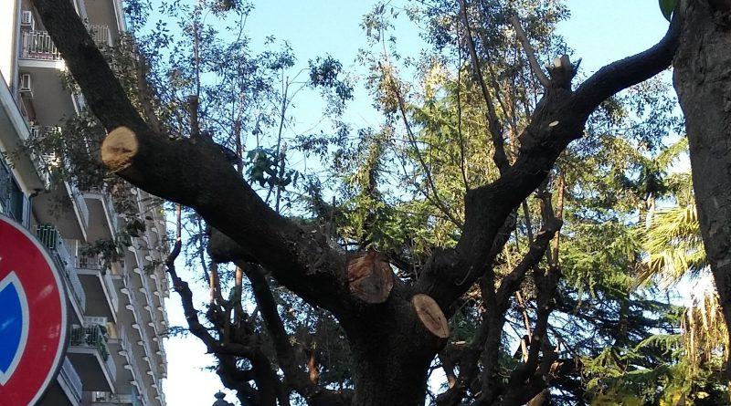 aversa-albero-tagliato